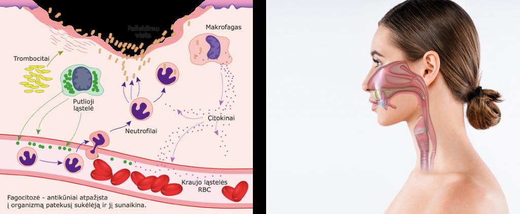 Fagocitozė